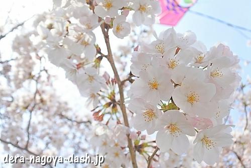 岩倉五条川の桜(岩倉桜祭り)