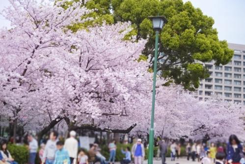 鶴舞公園の桜(お花見)