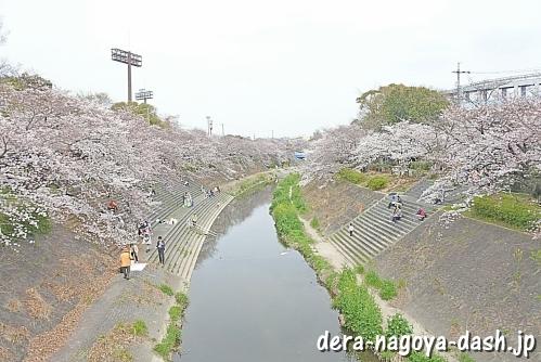 山崎川(名古屋市瑞穂区)の桜並木