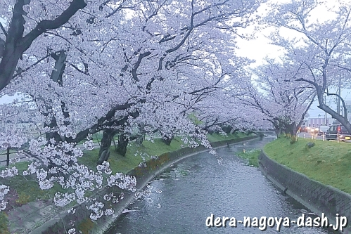 [大口町]五条川の桜並木