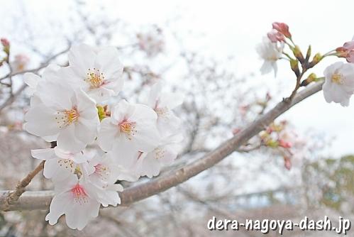 山崎川(名古屋市瑞穂区)の桜