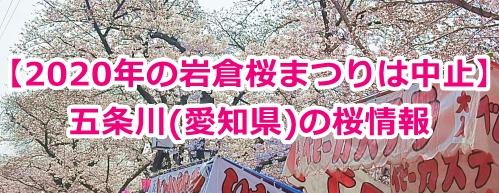 五条川(岩倉桜祭り)の桜