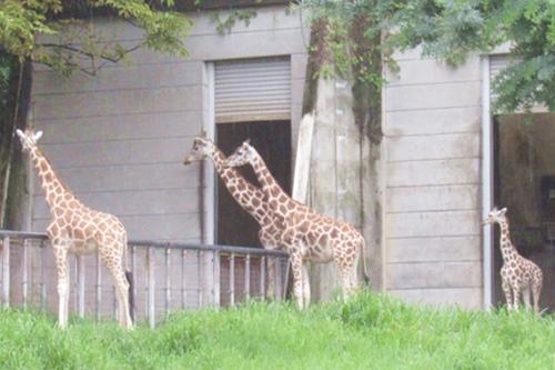 東山動物園(名古屋市千種区)のアミメキリン03