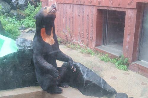 東山動物園(名古屋市千種区)マレーグマ(雨の日)01