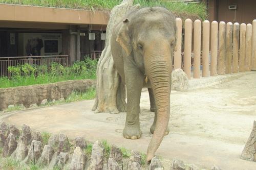 東山動植物園(名古屋市千種区)アジアゾウ05