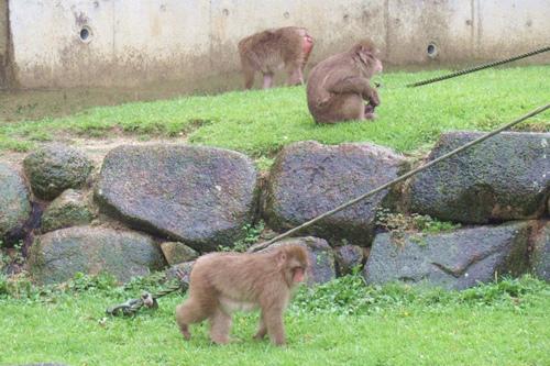 東山動物園(名古屋市千種区)のニホンザル(雨の日)01