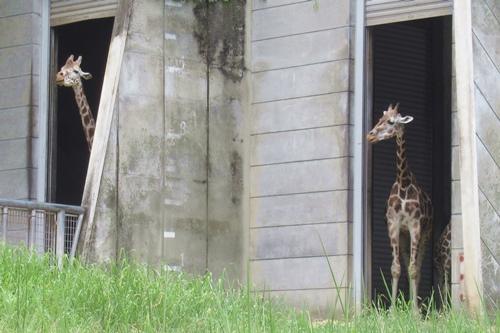 東山動物園(名古屋市千種区)のアミメキリン02