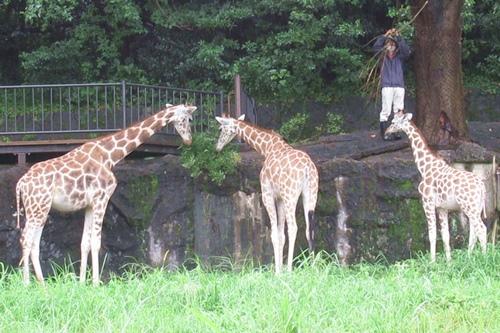東山動物園(名古屋市千種区)キリンの赤ちゃん02
