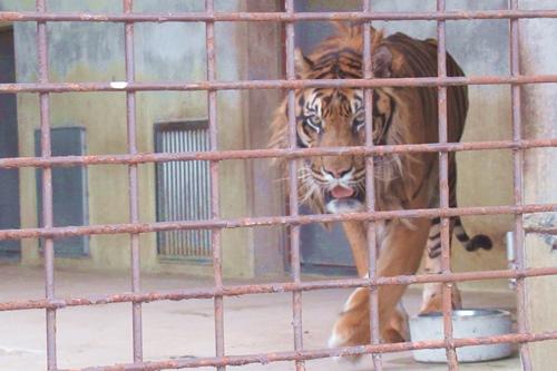 東山動植物園(名古屋市千種区)スマトラトラ01