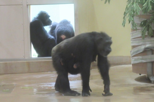 東山動物園(名古屋市千種区)チンパンジー(雨の日)01