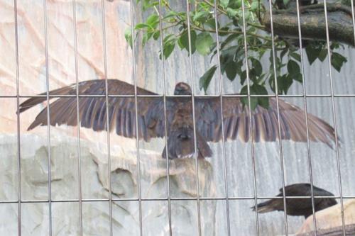 東山動物園(名古屋市千種区)クロコンドル(雨の日)