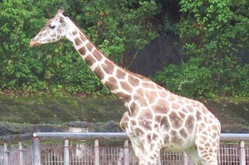 東山動物園(名古屋市千種区)のアミメキリン05