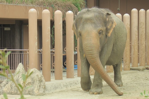 東山動植物園(名古屋市千種区)アジアゾウ02