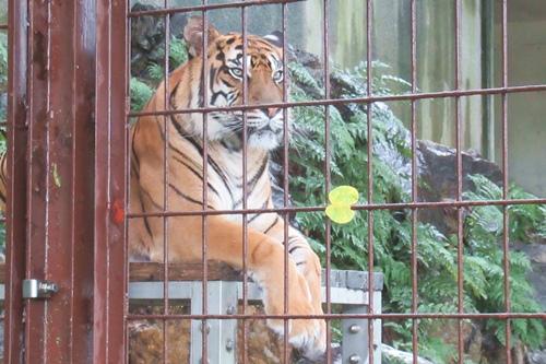 東山動物園(名古屋市千種区)スマトラトラ(雨の日)01