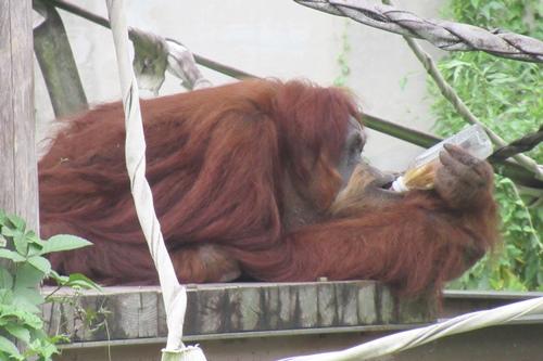 東山動物園(名古屋市千種区)のオランウータン01
