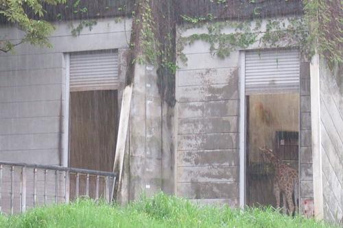 東山動物園(名古屋市千種区)キリン(雨の日)01