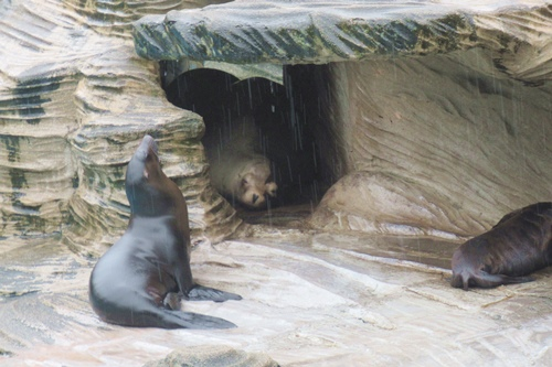 東山動物園(名古屋市千種区)アシカ(雨の日)01