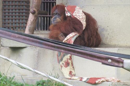 東山動物園(名古屋市千種区)オランウータン(雨の日)