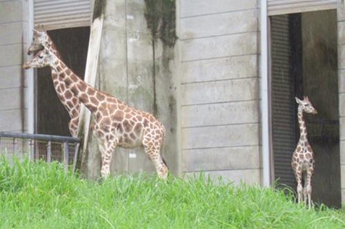 東山動物園(名古屋市千種区)キリンの赤ちゃん01