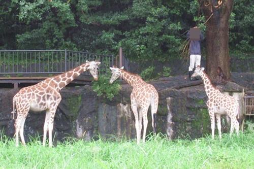 東山動物園(名古屋市千種区)キリン(雨の日)02