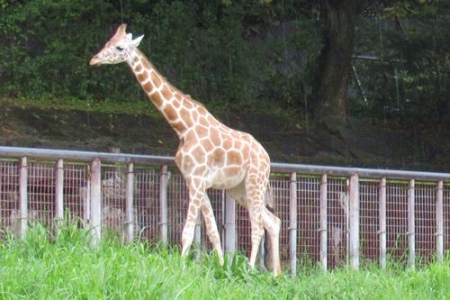 東山動物園(名古屋市千種区)のアミメキリン01