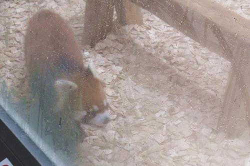 東山動物園(名古屋市千種区)レッサーパンダ(雨の日)01