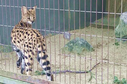 東山動物園(名古屋市千種区)サーバルキャット01